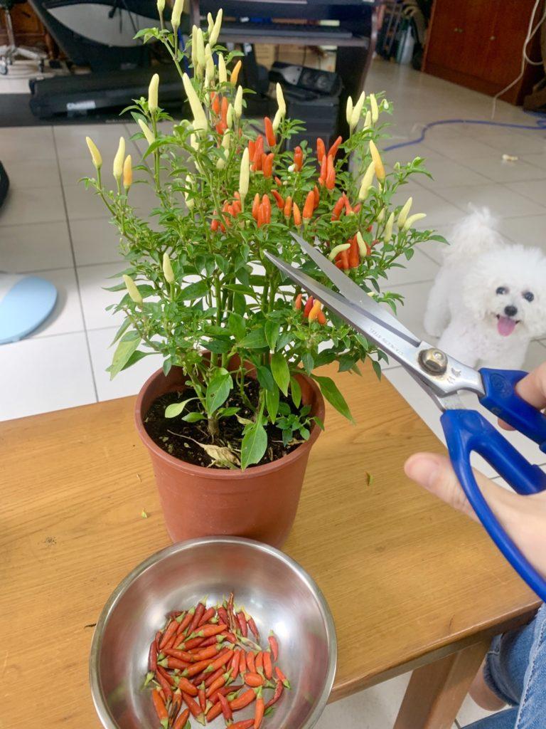 陽台菜園辣椒